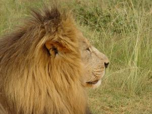 lion-side-shot