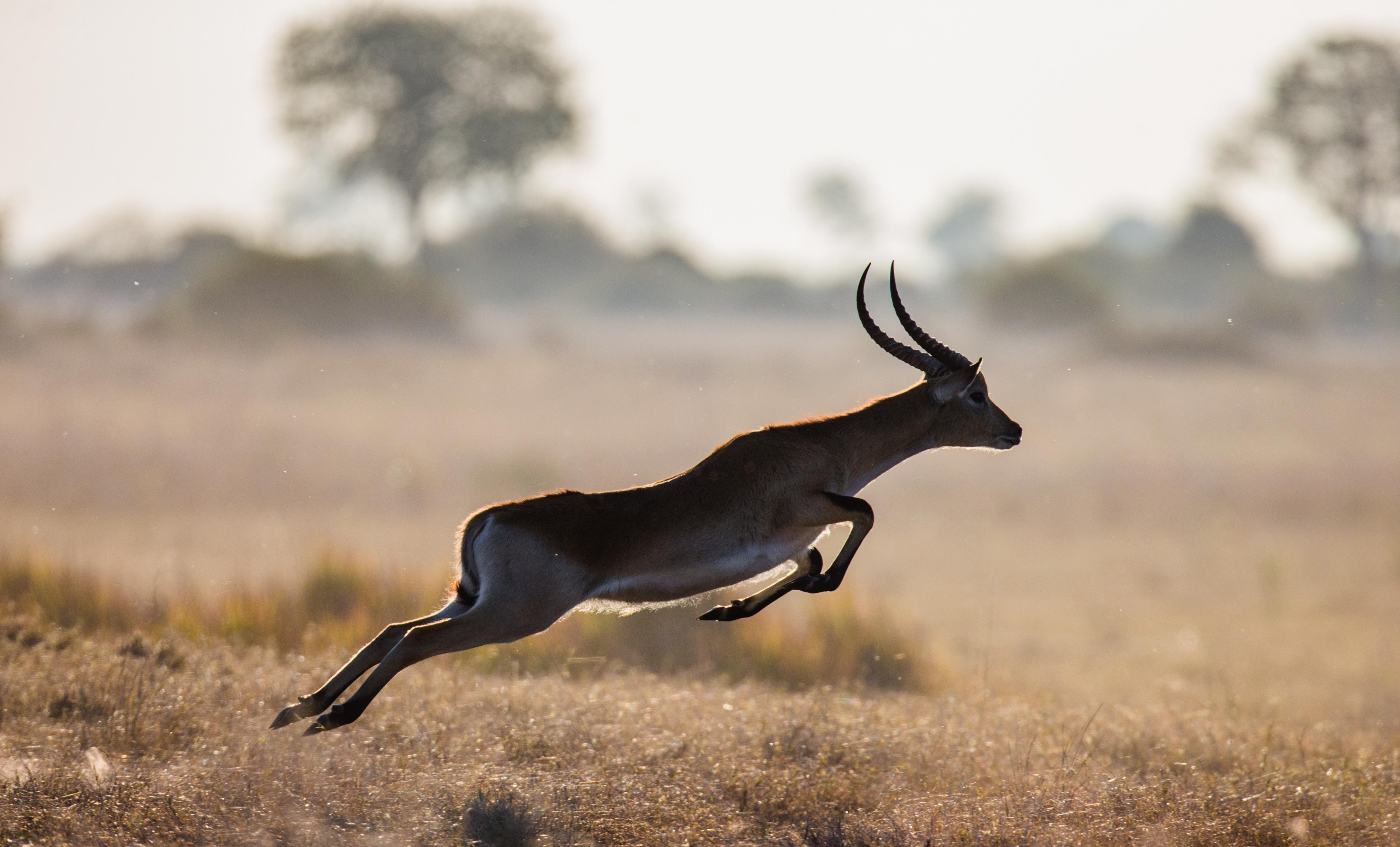 gazelle animal running