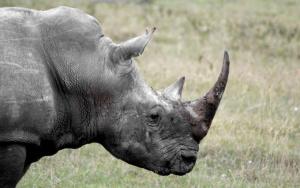 Rhinos in their ecosystem[2]