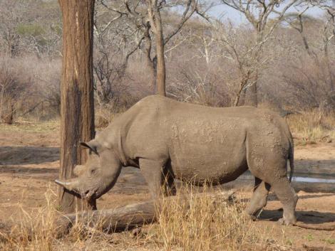 mabuya the blind rhino