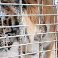 Tiger_Gaza