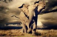 Elephant_4