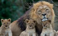 Lion with cubs