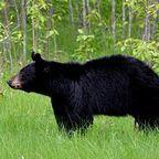 bear-1102599__180