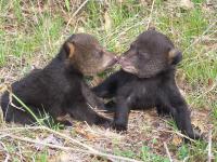 Black Bears Florida