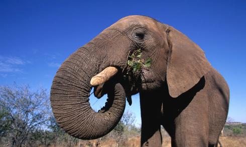 Elephant Swaziland