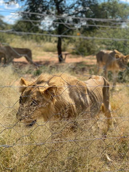 Lions_Slippers_May 2020